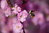 bee on a  japanese cherry