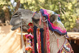 adorned camel portrait