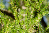 Closeup of European larch, Larix decidua