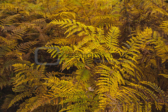 Autumnal ferns