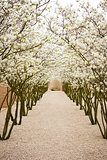 avenue with blossom apple trees