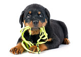 puppy rottweiler and leash