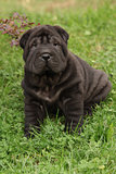 Adorable Shar Pei puppy in the garden