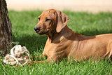 Rhodesian ridgeback puppy in the garden