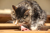 Beautiful cat eating fresh meat