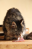 Beautiful cat eating fresh meat