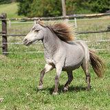 American miniature horse stallion running