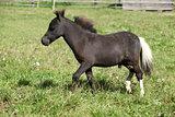 Nice foal of minihorse