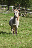 Miniature horse stallion