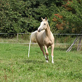 Beautiful palomino horse running on pasturage