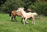 Two palomino horses running