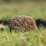 Hedgehog in the garden