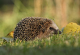 Little hedgehog in the garden