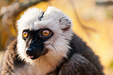 White-headed lemur