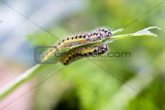 Cabbage butterfly caterpillars eating broccoli leaves