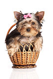 Cute yorkshire terrier puppy in a basket isolated over white