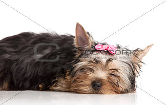 Cute yorkshire terrier puppy isolated over white