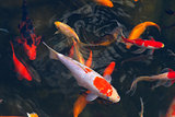 Koi Carps Fish Japanese swimming (Cyprinus carpio) beautiful color variations natural organic