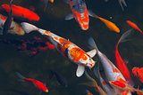 Koi Carps Fish Japanese swimming (Cyprinus carpio) beautiful col