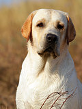 yellow labrador portrait in summer