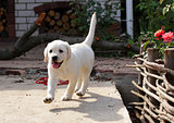 yellow labrador puppy in the yard
