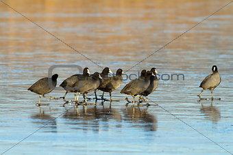 flock of coots walking on frozen lake