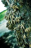 Hanging Seaweed