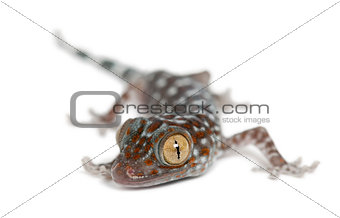 Tokay Gecko, Gekko gecko, portrait against white background