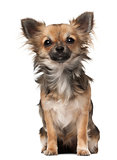 Chihuahua, 7 months old, sitting in front of white background