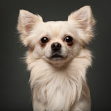 Chihuahua, 18 months old, in front of white background