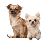 Chihuahua, 18 months old, and Chihuahua puppy, 6 months old, sitting in front of white background