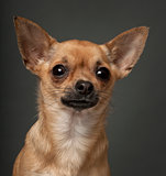 Chihuahua, 1 year old, in front of white background