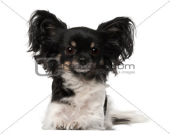 Crossbreed dog lying in front of white background