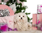 Maltese, 1 year old, with Christmas tree and gifts in front of white background