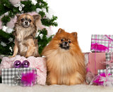 Pomeranian, 2 years old, and Chihuahua, 4 years old, with Christmas tree and gifts in front of white background
