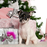 Chihuahua puppy, 3 months old, with Christmas tree and gifts in front of white background