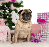 Pug, 4 years old, with Christmas tree and gifts in front of white background