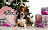 Beagle, 2 years old, with Christmas tree and gifts in front of white background