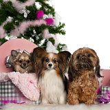 Chihuahua, 18 months old, getting out a box, with Papillon, 5 years old, and Shih Tzu with Christmas tree and gifts in front of white background
