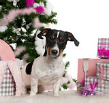 Jack Russell Terrier, 9 months old, with Christmas tree and gifts in front of white background