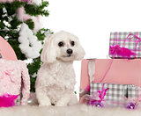 Maltese, 2 years old, with Christmas tree and gifts in front of white background