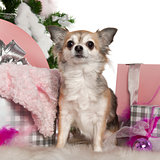 Chihuahua, 5 years old, with Christmas tree and gifts in front of white background