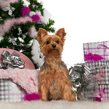 Yorkshire Terrier, 2 years old, with Christmas tree and gifts in front of white background