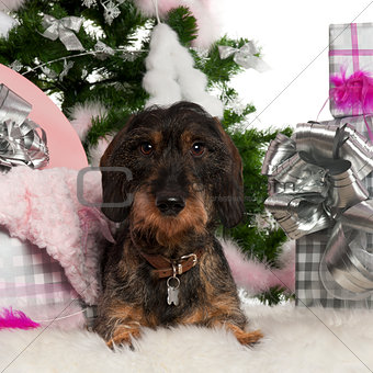 Dachshund, 12 months old, with Christmas tree and gifts in front of white background