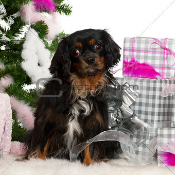 Cavalier King Charles Spaniel, 3 years old, with Christmas tree and gifts in front of white background