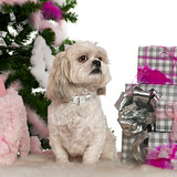 Shih Tzu, 4 years old, with Christmas tree and gifts in front of white background