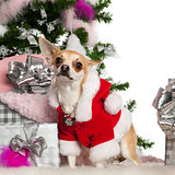 Chihuahua, 16 months old, with Christmas tree and gifts in front of white background