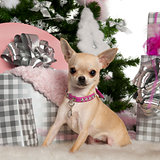 Chihuahua, 8 months old, with Christmas tree and gifts in front of white background