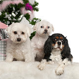 Bichon Frisé and Maltese, 12 years old and Cavalier King Charles Spaniel, 3 years old, with Christmas tree and gifts in front of white background