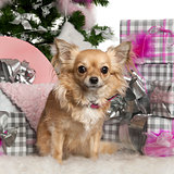 Chihuahua, 3 years old, with Christmas tree and gifts in front of white background